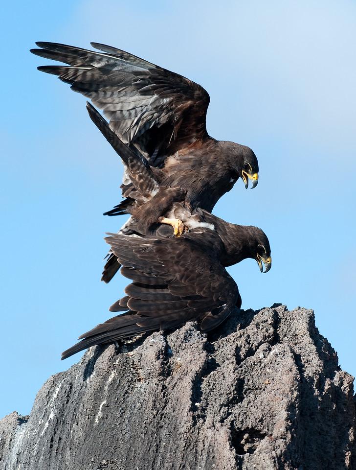 Galapagos Hawks Mating