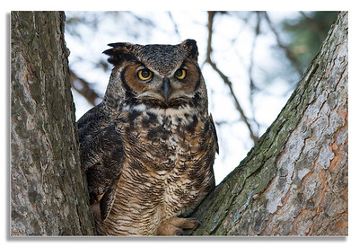 The Great Horned Owl Looking On