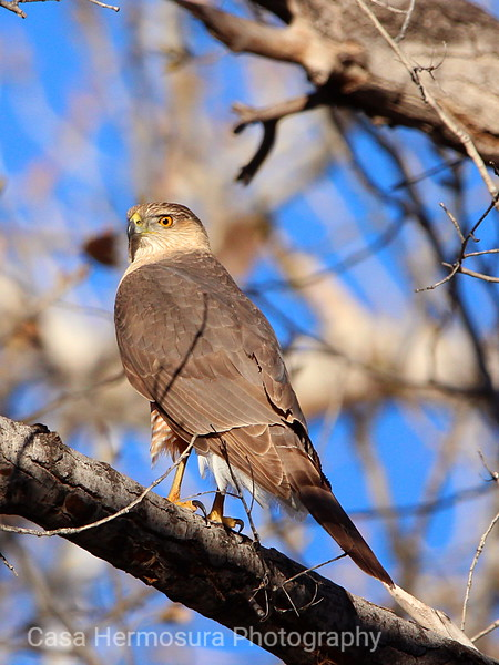 Bosque Hawk