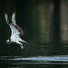 Hunting osprey
