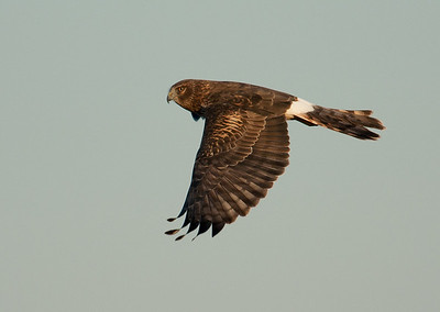 Northern Harrier Sugar Land, TX