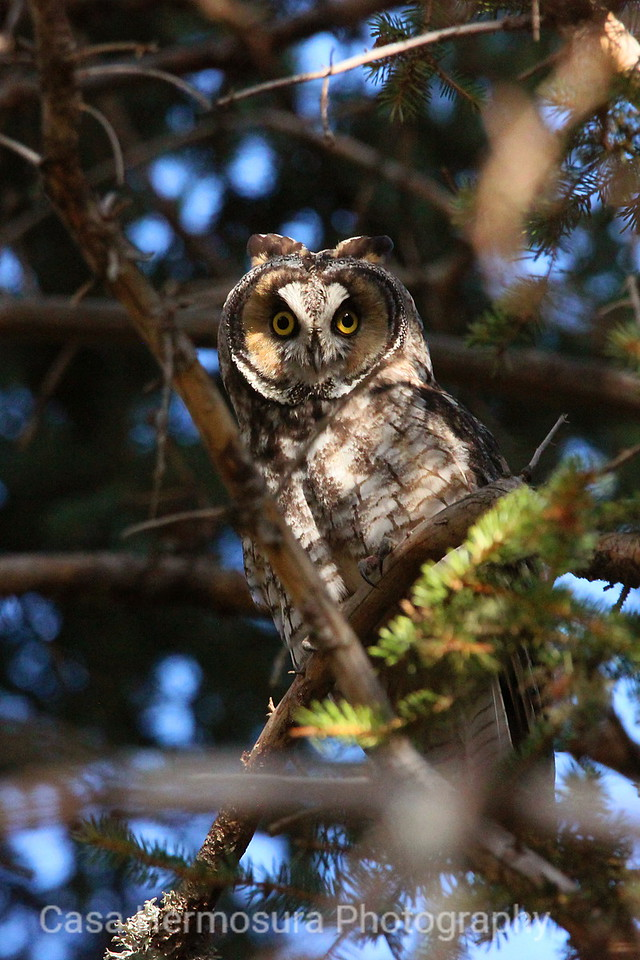 Long-eared Owl; Jemez Mountains, New Mexico
