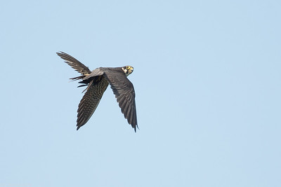 Hobby with Common swift