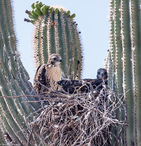 Red-tailed hawks, Juvenile