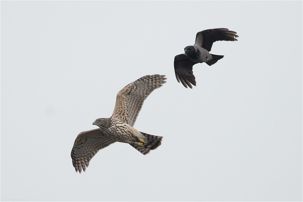 Immature goshawk and hood crow