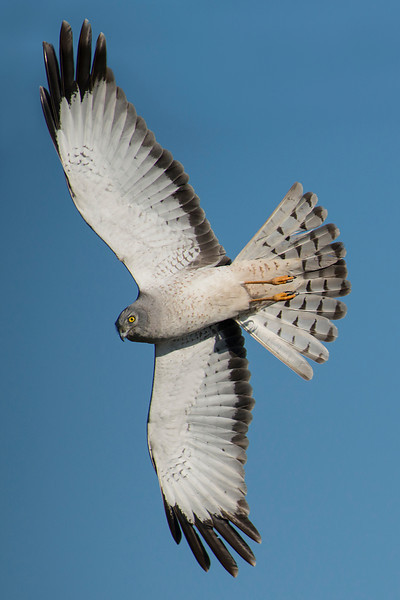 Northern Harrier Galveston, TX