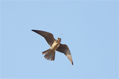 Red-footed Falcon (Falco vespertinus), 1st year