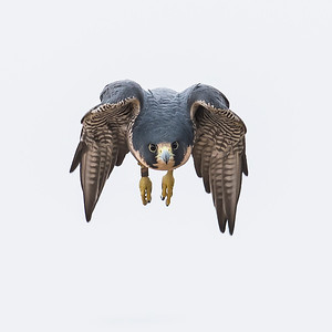 Peregrine Falcon Owner Rob Palmer, CO