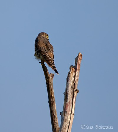 immature female merlin