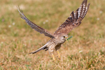 Eurasian kestrel (Falco tinnunculus), female with locust