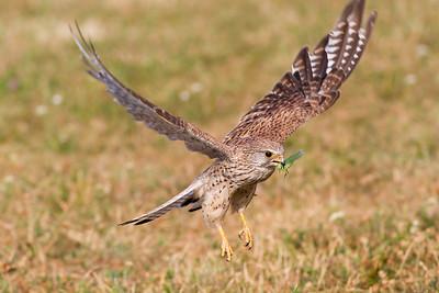 Eurasian kestrel (Falco tinnunculus), female with locust