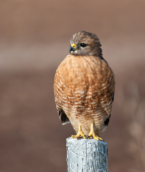 Red-shouldered Hawk Sugar Land TX