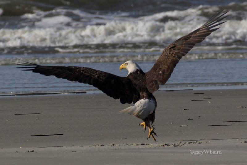 Beach Bald Eagle Take-off