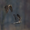 Goshawk pair (Accipiter gentilis) courtship display