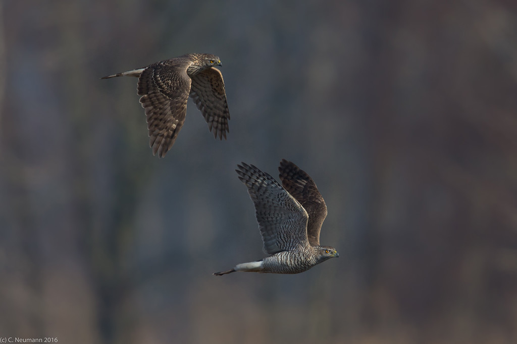Goshawk pair (Accipiter gentilis) courtship display