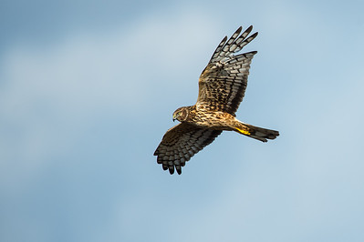 Northern Harrier Brazoria NWR, TX