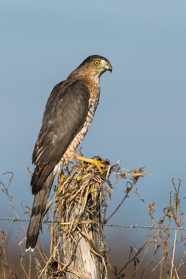 Sharp-shinned Hawk Katy Prarie, TX