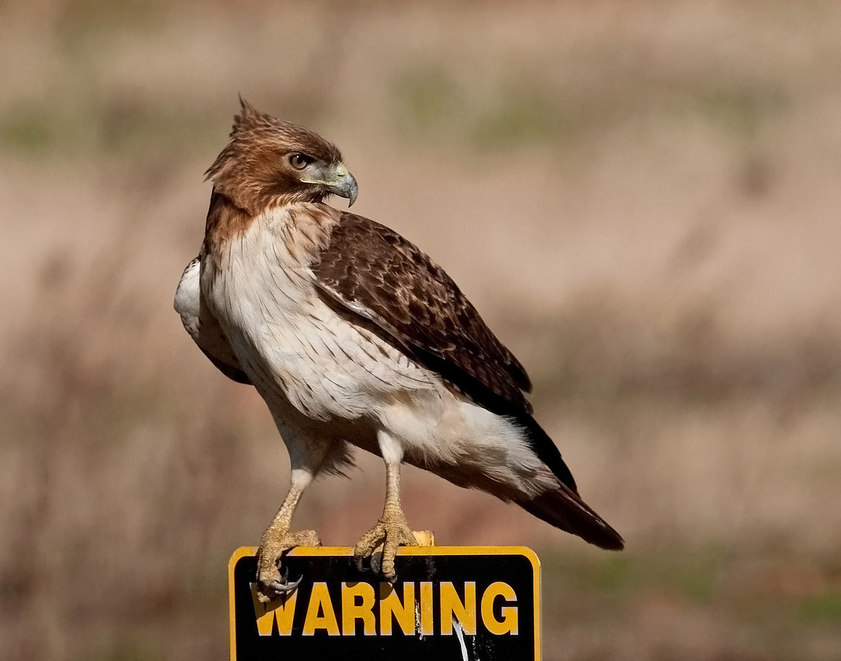 Red-tailed Hawk Warning Sugar Land, TX