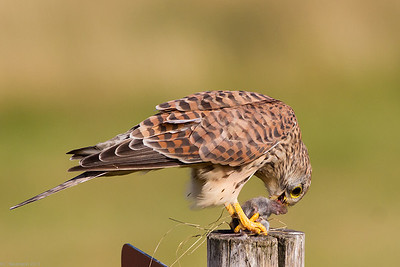 Eurasian kestrel (Falco tinnunculus), female with vole