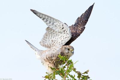 Eurasian kestrel (Falco tinnunculus), female