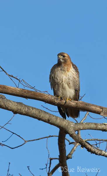 red tail hawk on branch