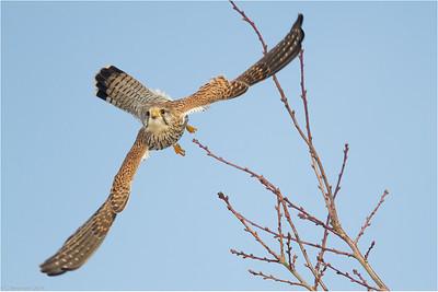 Immature kestrel (Falco tinnunculus) in winter