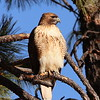 Hawk in Morning light