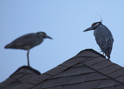 I captured these Yellow crowned night Herons on my roof top in Pasadena Tx, June 09 2009