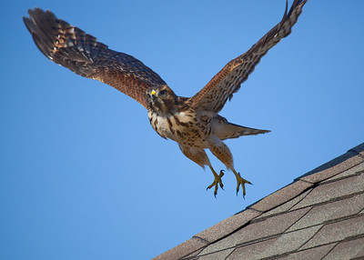 I captured this photo as a Red Shouldered Hawk took off from my roof top in Pasadena Tx, June 06, 2009