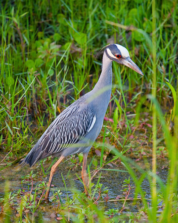 Yellow crowned Night Heron I capturned this bird in a drainage ditch in Pasadena, Tx near my home (took photo with camera out my driver window while stopped at a red light on Fairmont)