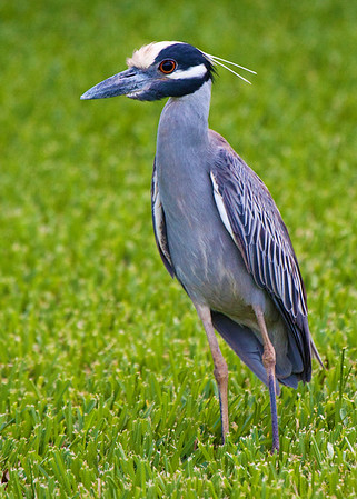 I captured this Yellow crowned night Heron in a neighbors yard across from my home in Pasadena Tx, June 09 2009