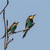 European Bee-eater - Biæder