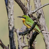 Little Bee-eater - Dværgbiæder