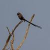 Magpie Shrike - Broget Tornskade