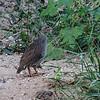 Natal Spurfowl - Natalfrankolin