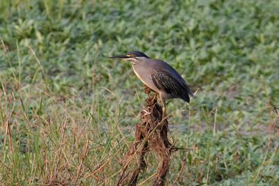 Striated Heron - Mangrovehejre