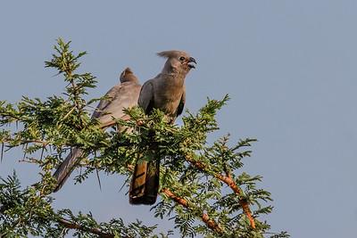 Grey Go-away Bird - Grå Larmfugl