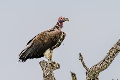 Lappet-faced Vulture - Øregrib