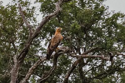 Tawny Eagle - Rovørn