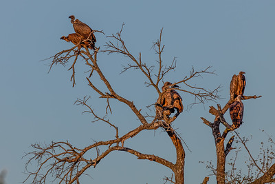 White-backed Vulture - Hvidrygget Grib