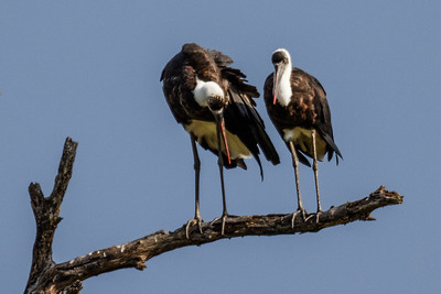 Woolly-necked Stork - Uldhals Stork