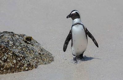 Birds of South Africa/Sydafrikanska fåglar