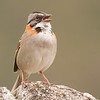 Rufous-collared Sparrow  2