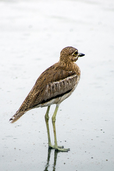 Water thick-knee or Water dikkop (Burhinus vermiculatus)