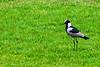 Blacksmith lapwing or Blacksmith plover (Vanellus armatus)