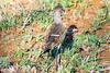 Senegal lapwing or Lesser black-winged plover (Vanellus lugubris) - Juvenile