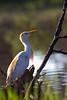 Cattle egret (Bubulcus ibis) - Breeding Colours