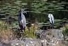 Goliath heron (Ardea goliath)