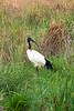 African sacred ibis or Sacred ibis (Threskiornis aethiopicus)