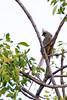 Speckled mousebird (Colius striatus)
